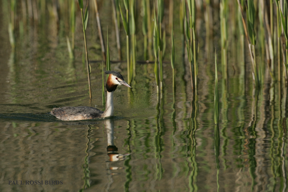 Great-crested Grebe Marsh Reflection