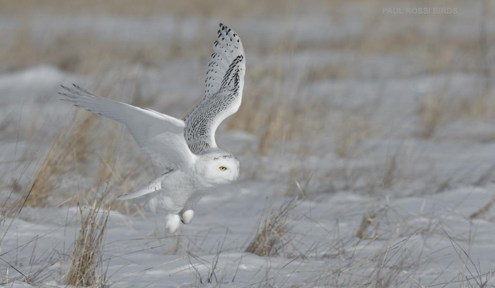 Snowy Owl Flight in Tall Grass