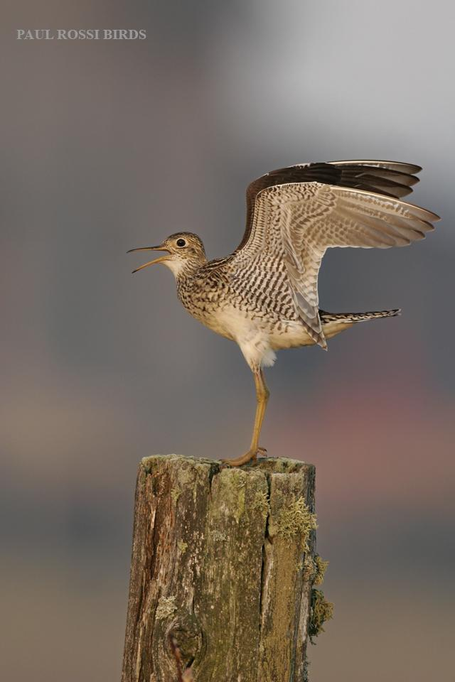 Upland Sandpiper Landing