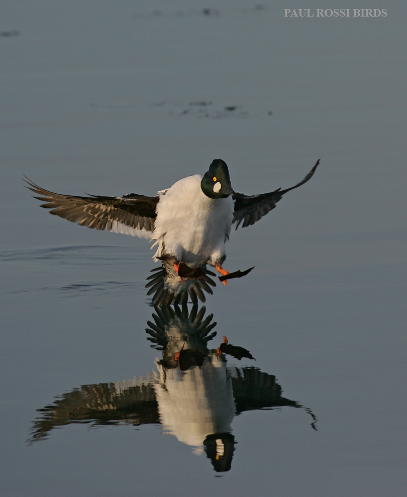 Male Goldeneye Landing Reflection