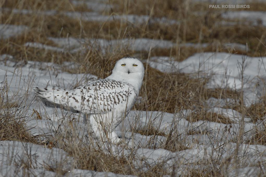 Snowy Owl in Hay Field