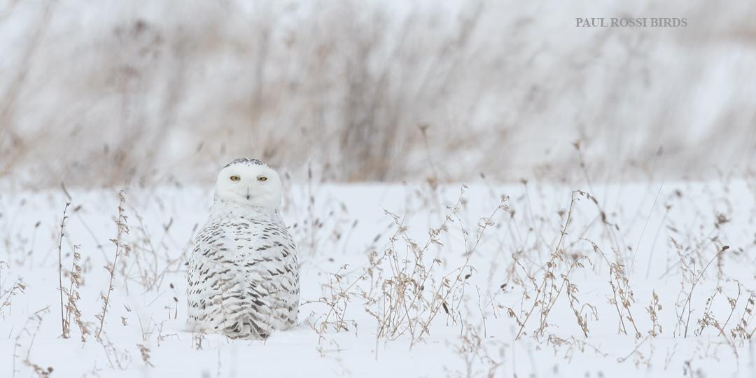 Snowy Owl Field