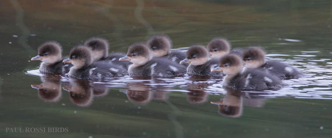 Hooded Merganser Brood Reflection