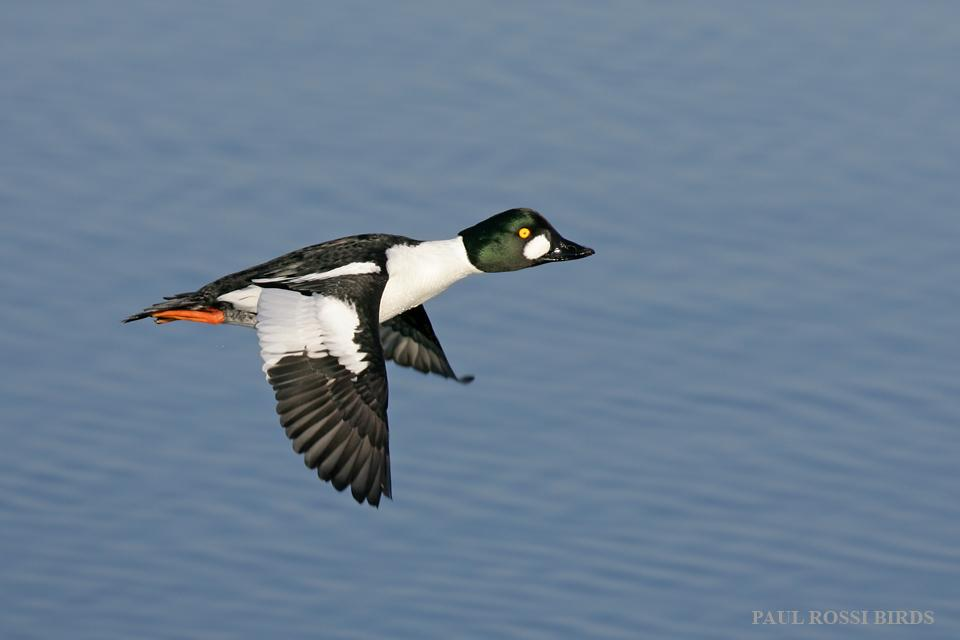 Male Goldeneye Flight