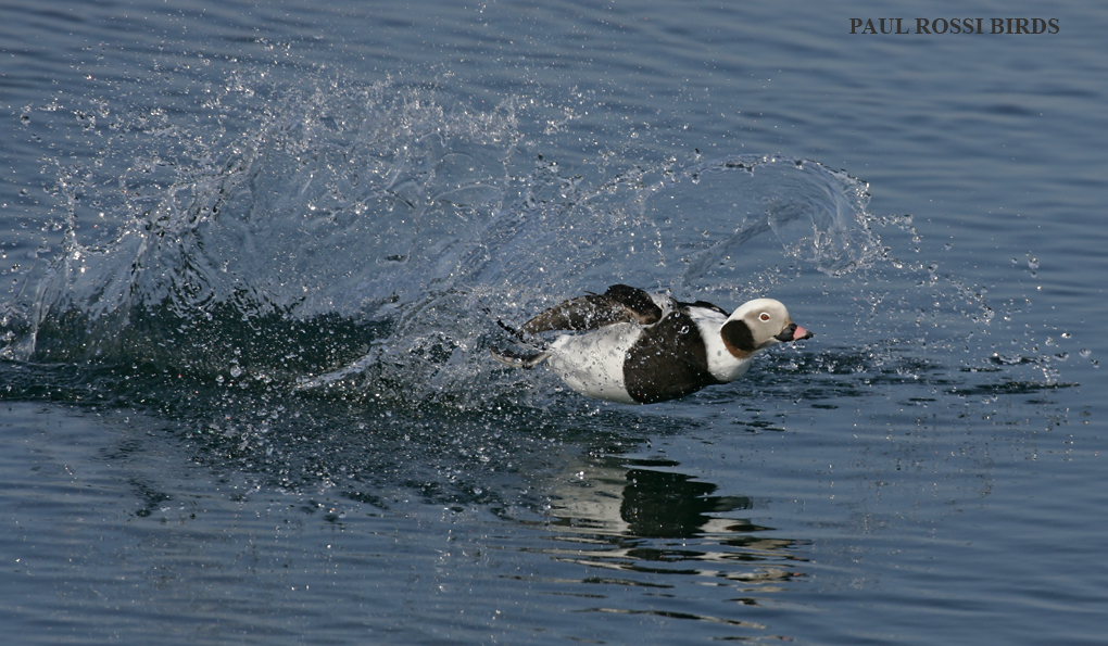Male Long-tailed Duck Bounce Landing
