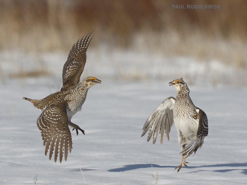 Sharp-tailed Grouse Pre-fight