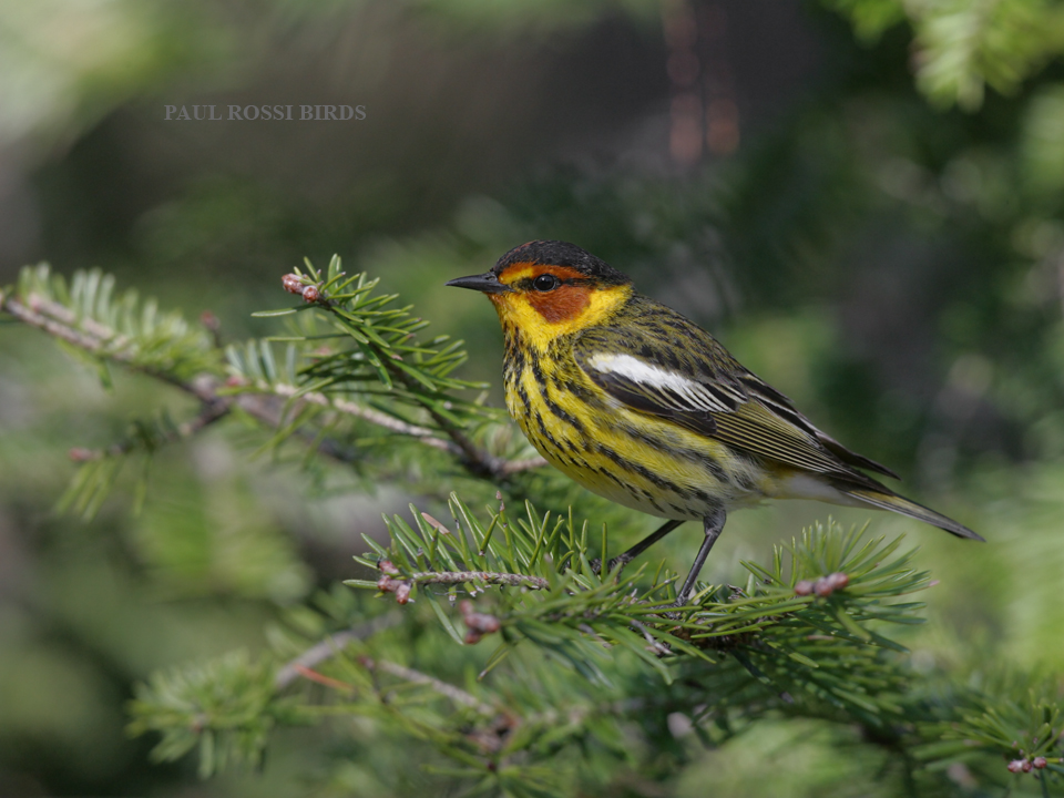 Male Cape May Warbler in Balsam Fir
