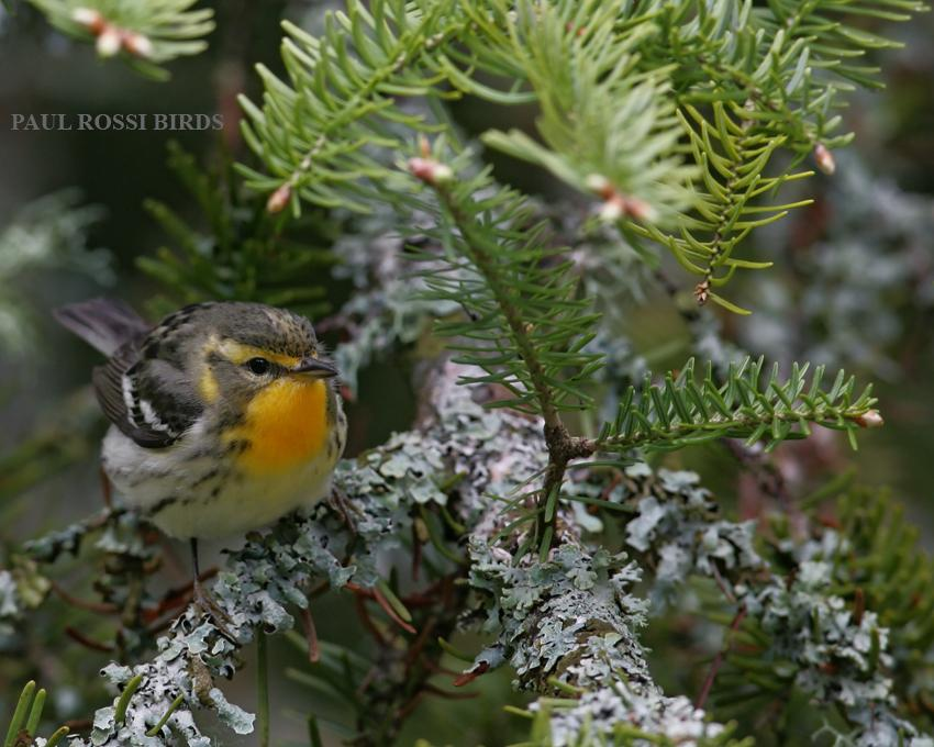 Spring Female Blackburnian Warbler