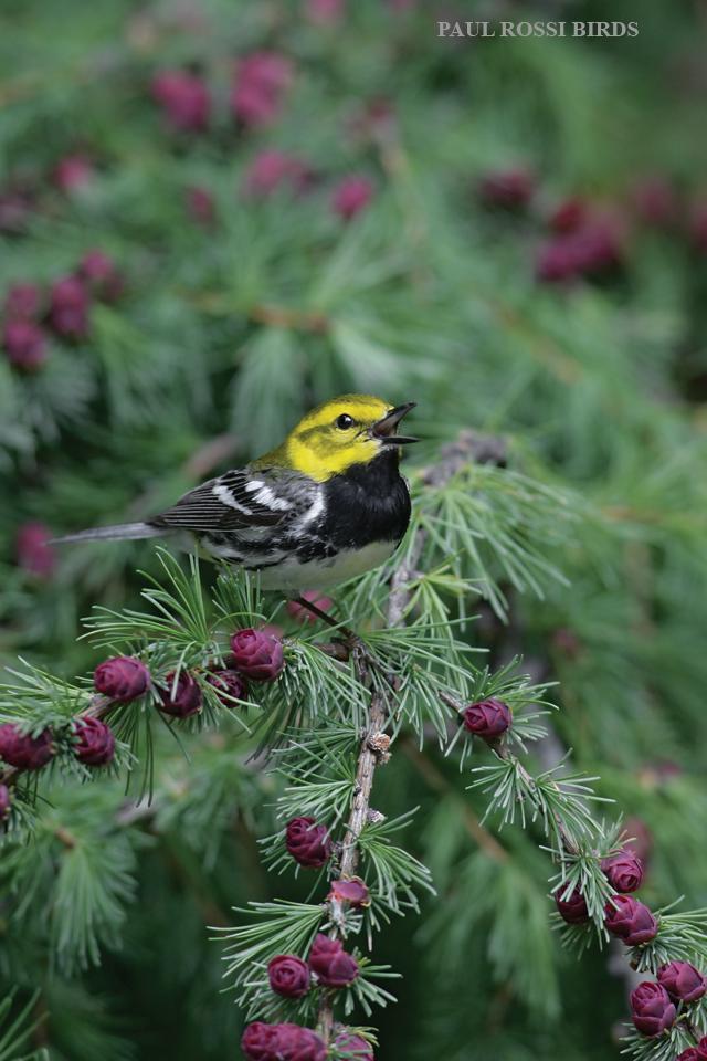 Male Black-throated Green Warbler Singing