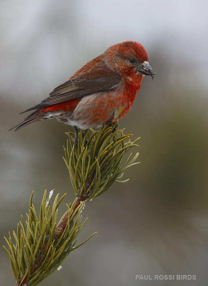 Male Red Crossbill 1