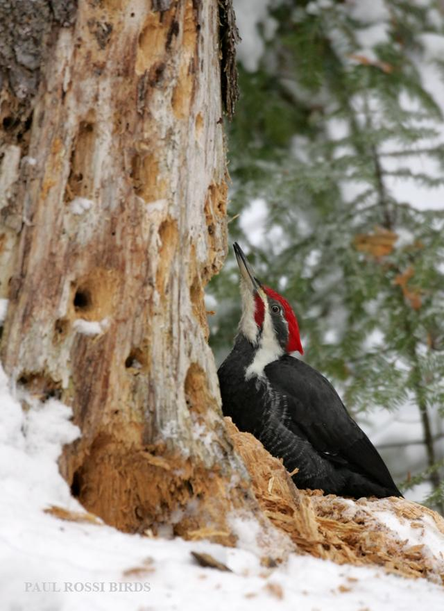 Pileated Woodpecker Hiding