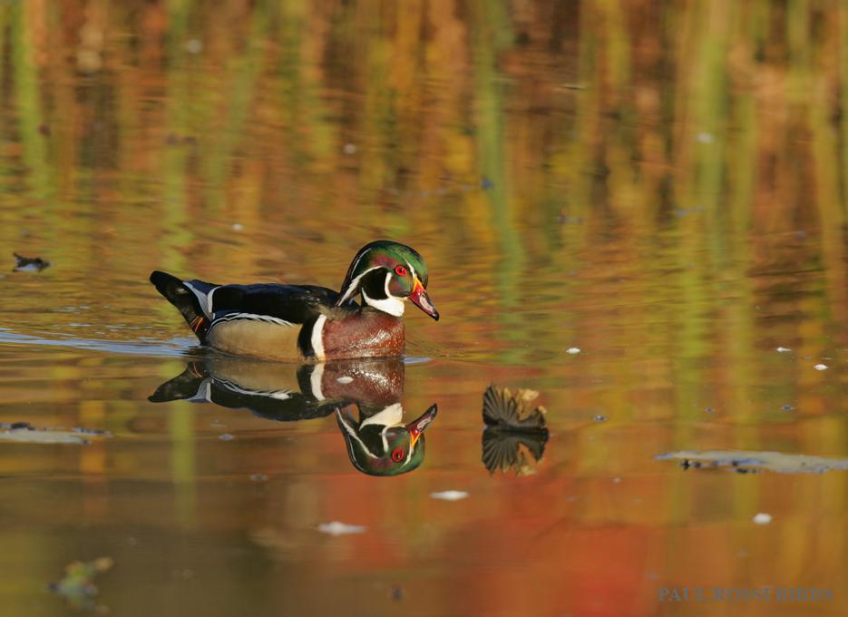 Male Wood Duck Fall Color Reflection