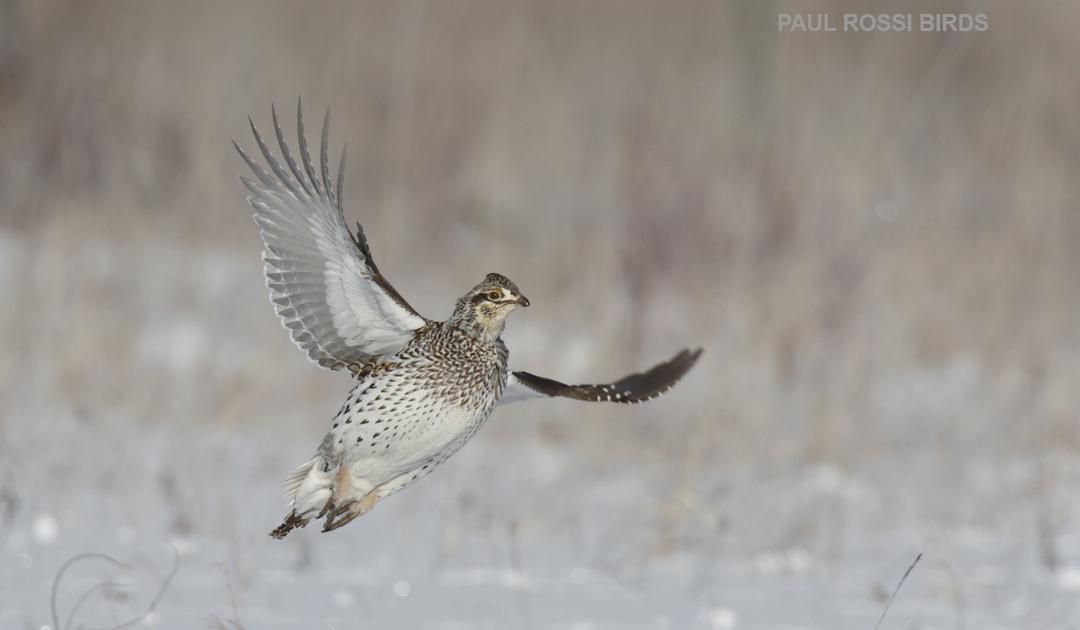 Sharp-tailed Grouse Take Off