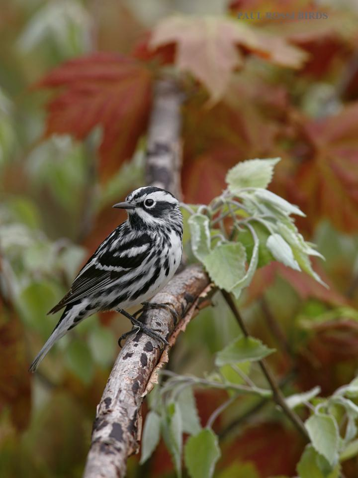 Male Black and White Warbler in Spring Color