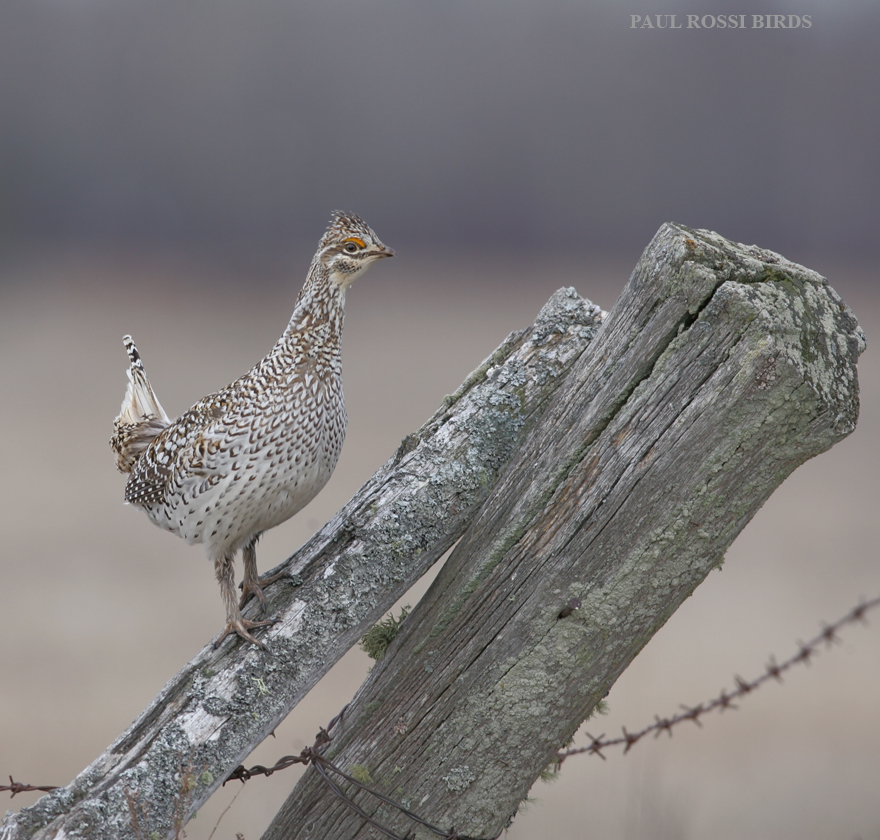 Sharp-tailed Grouse on Old Post
