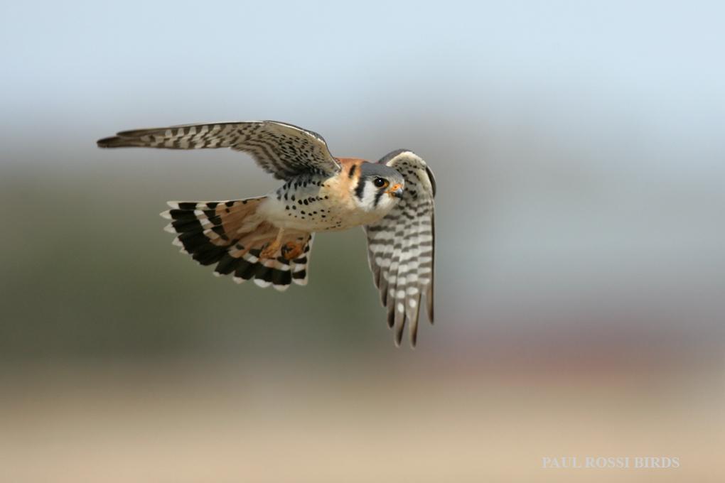 Male Kestrel Flight 2