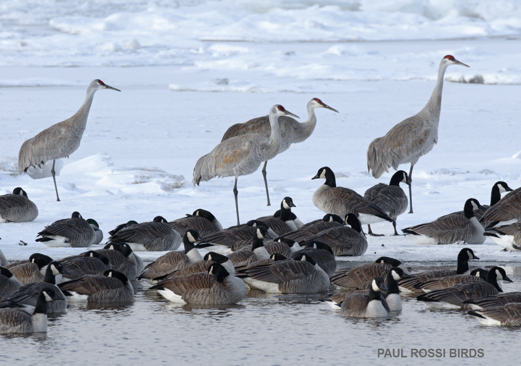 Sandhill Cranes and Canadian Geese Survive Cold