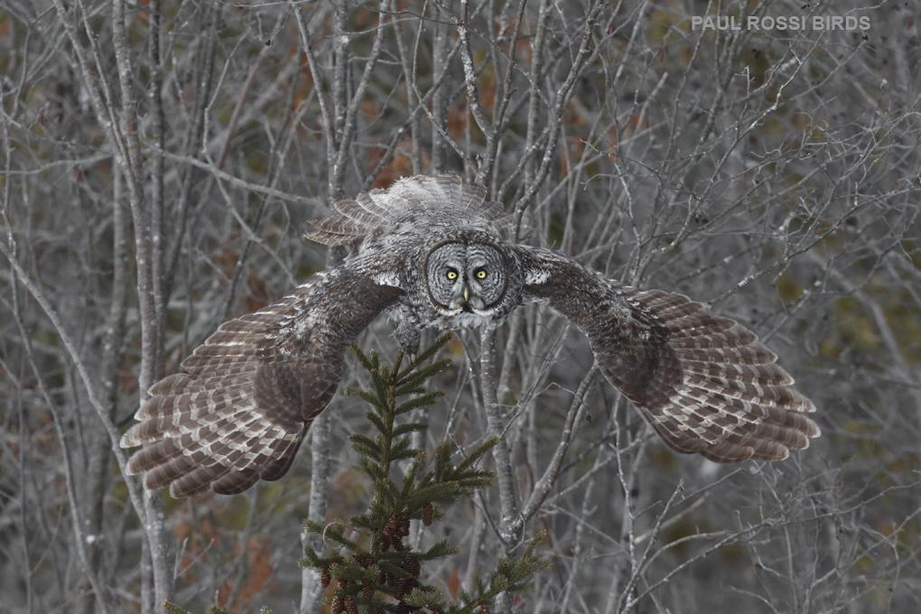 Great Gray Owl Forward Flight