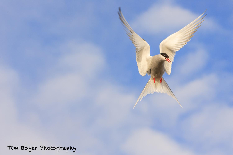 Arctic Tern-