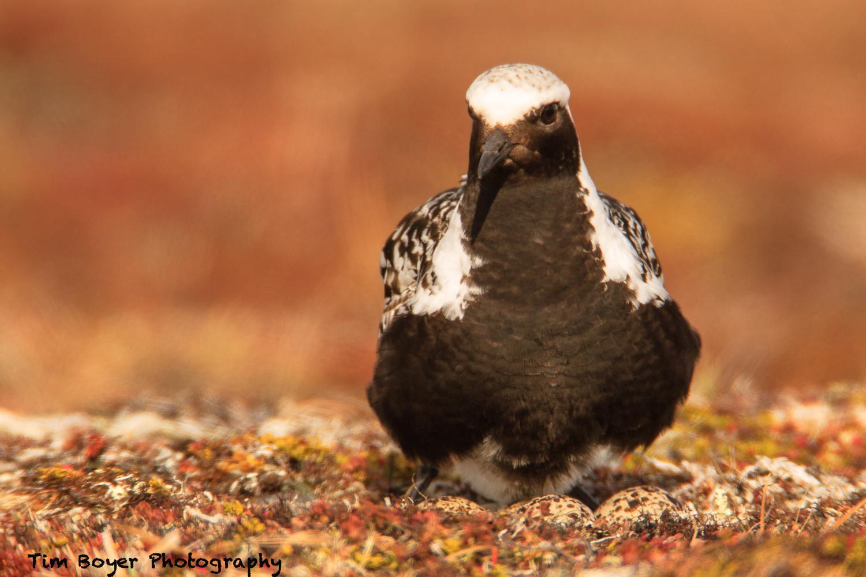 Black-bellied Plover on Nest