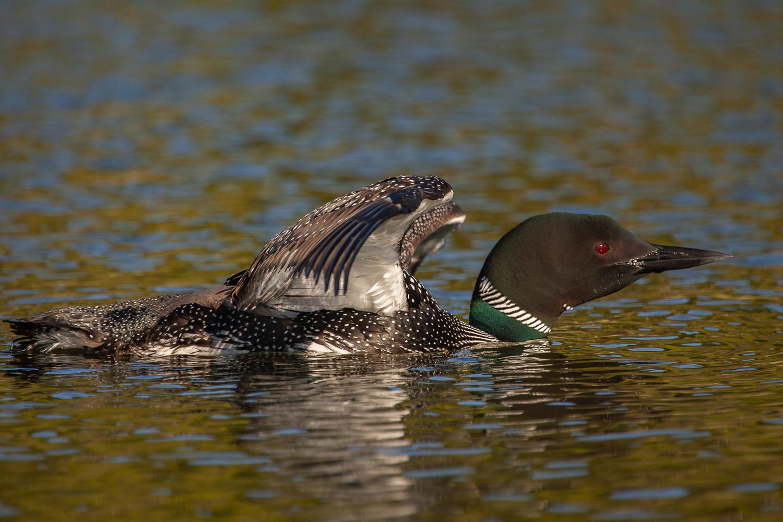 Common Loon-