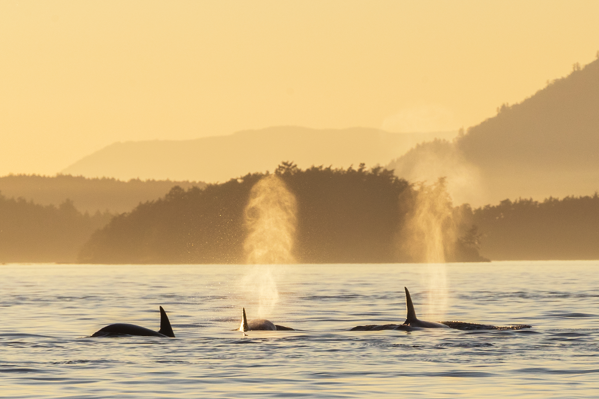 Sunset with Orcas