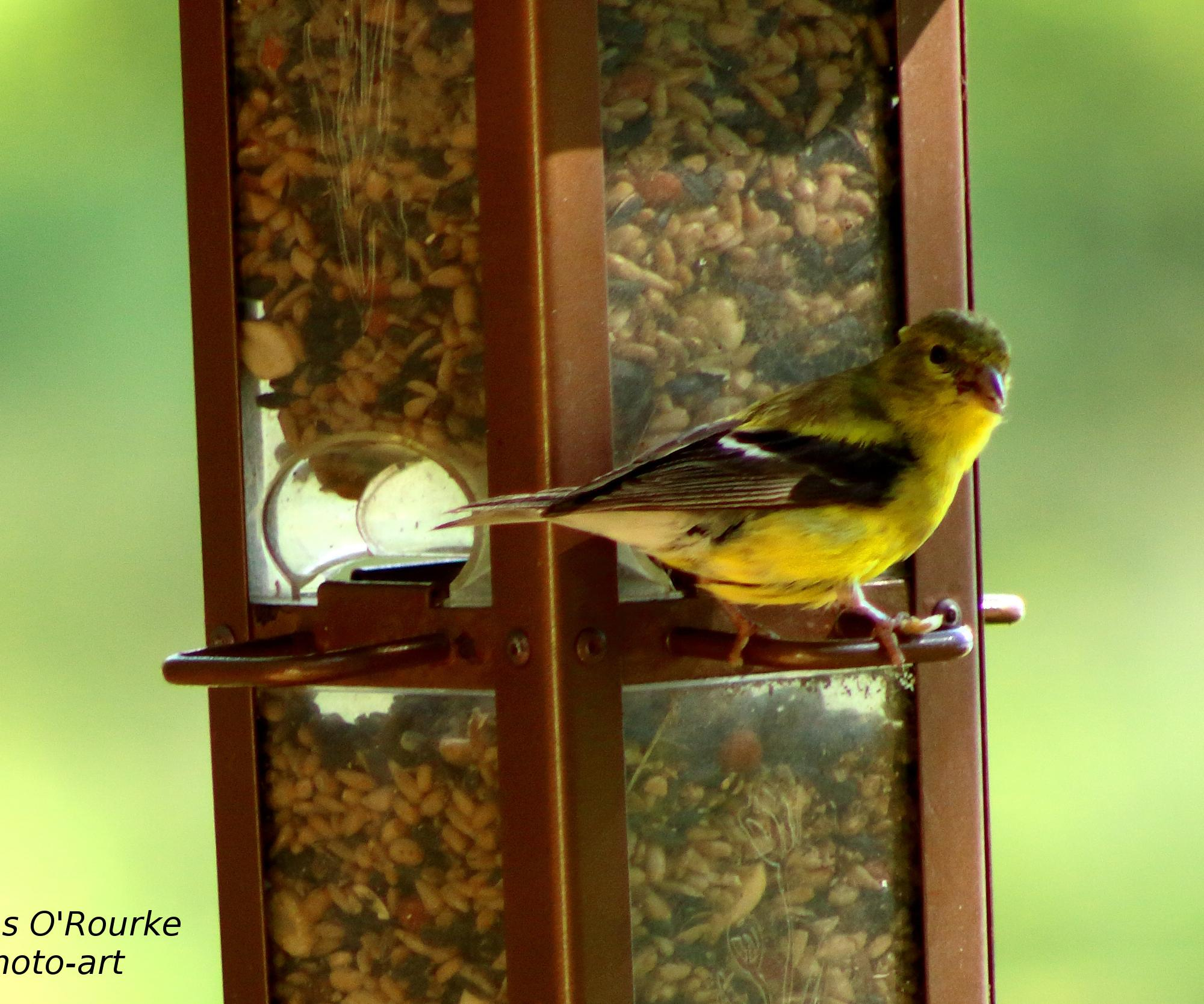 Goldfinch IMG_0635(2)