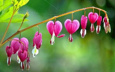 I believe these are called Bleeding hearts