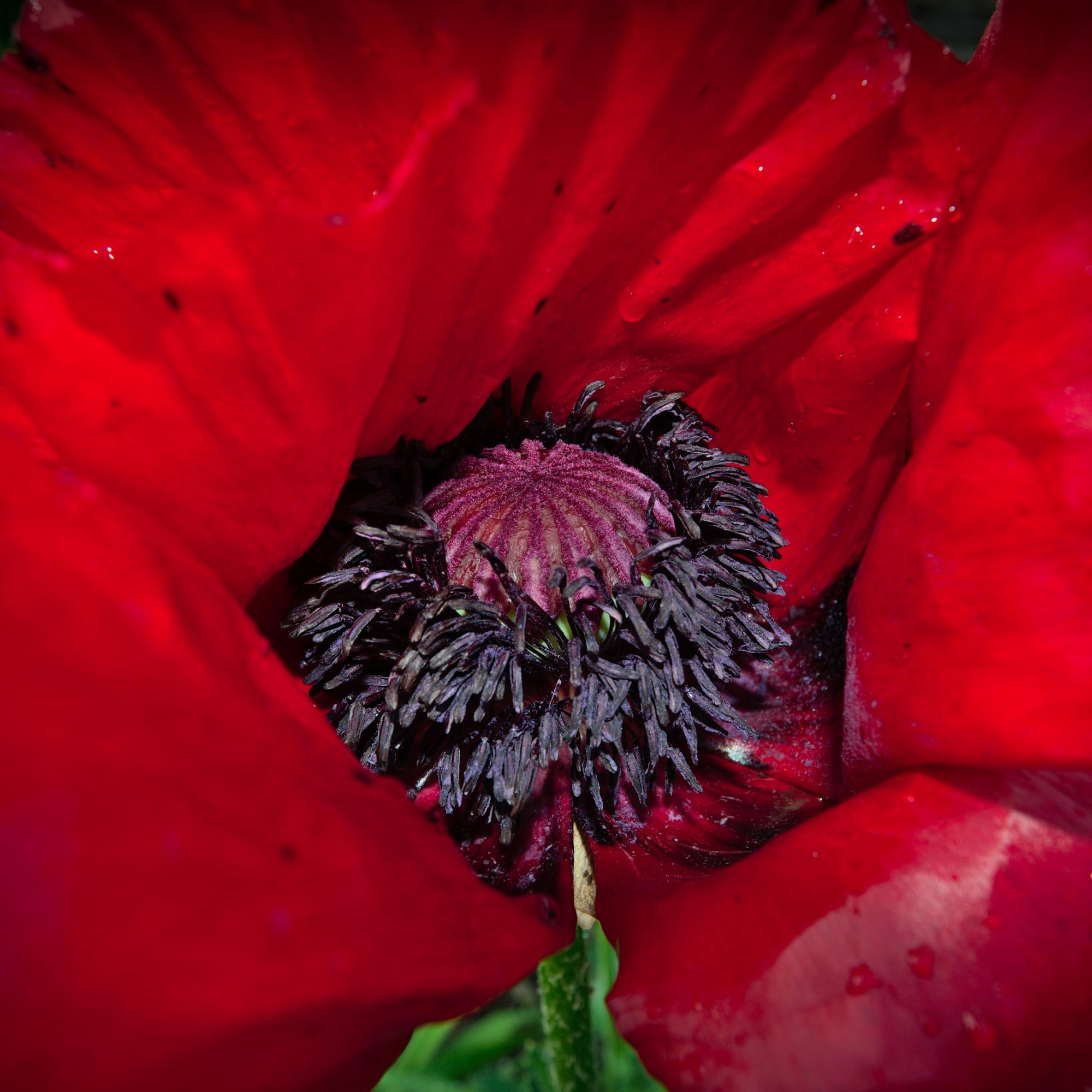 Luscious Red Flower