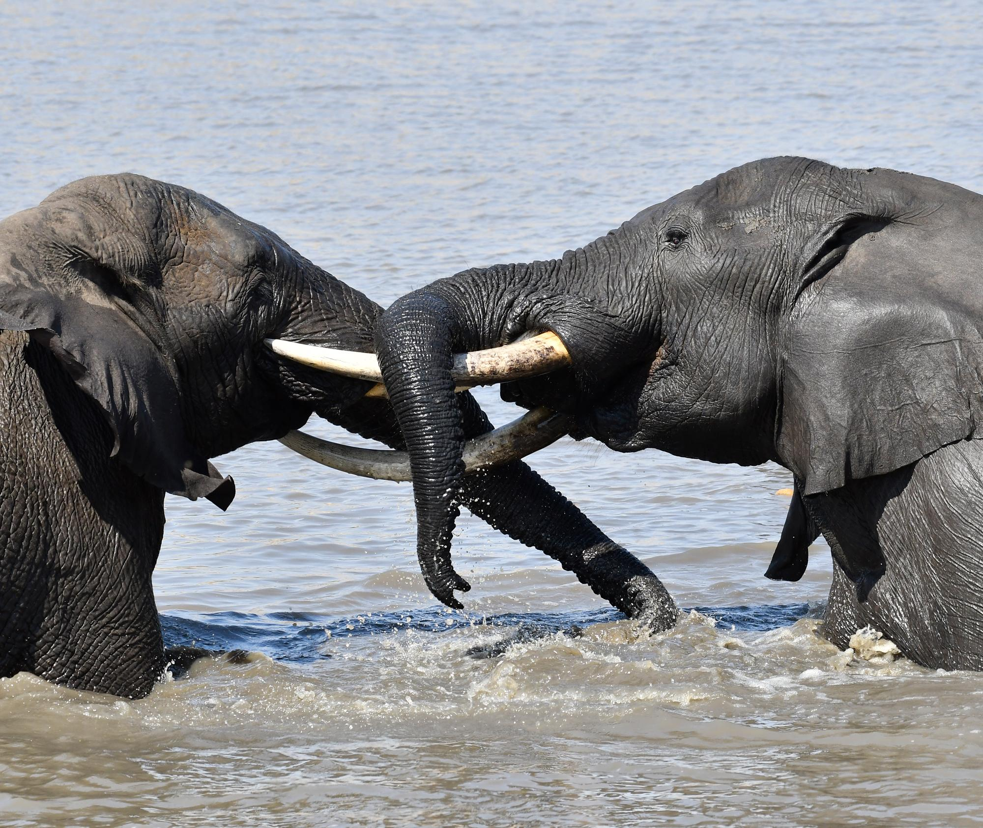 Swimming Elephants, Kruger National Park