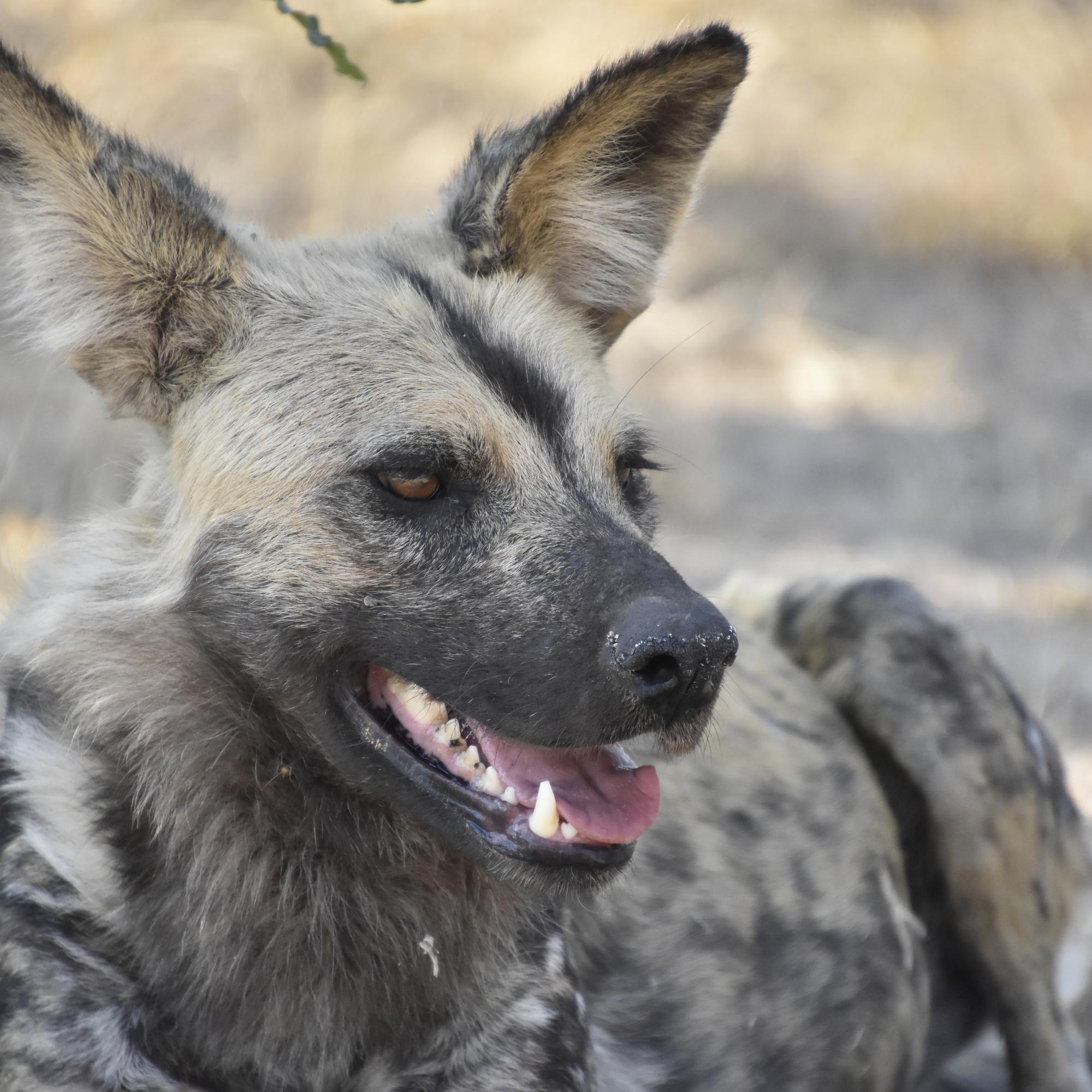 Wild Dog, Kruger National Park