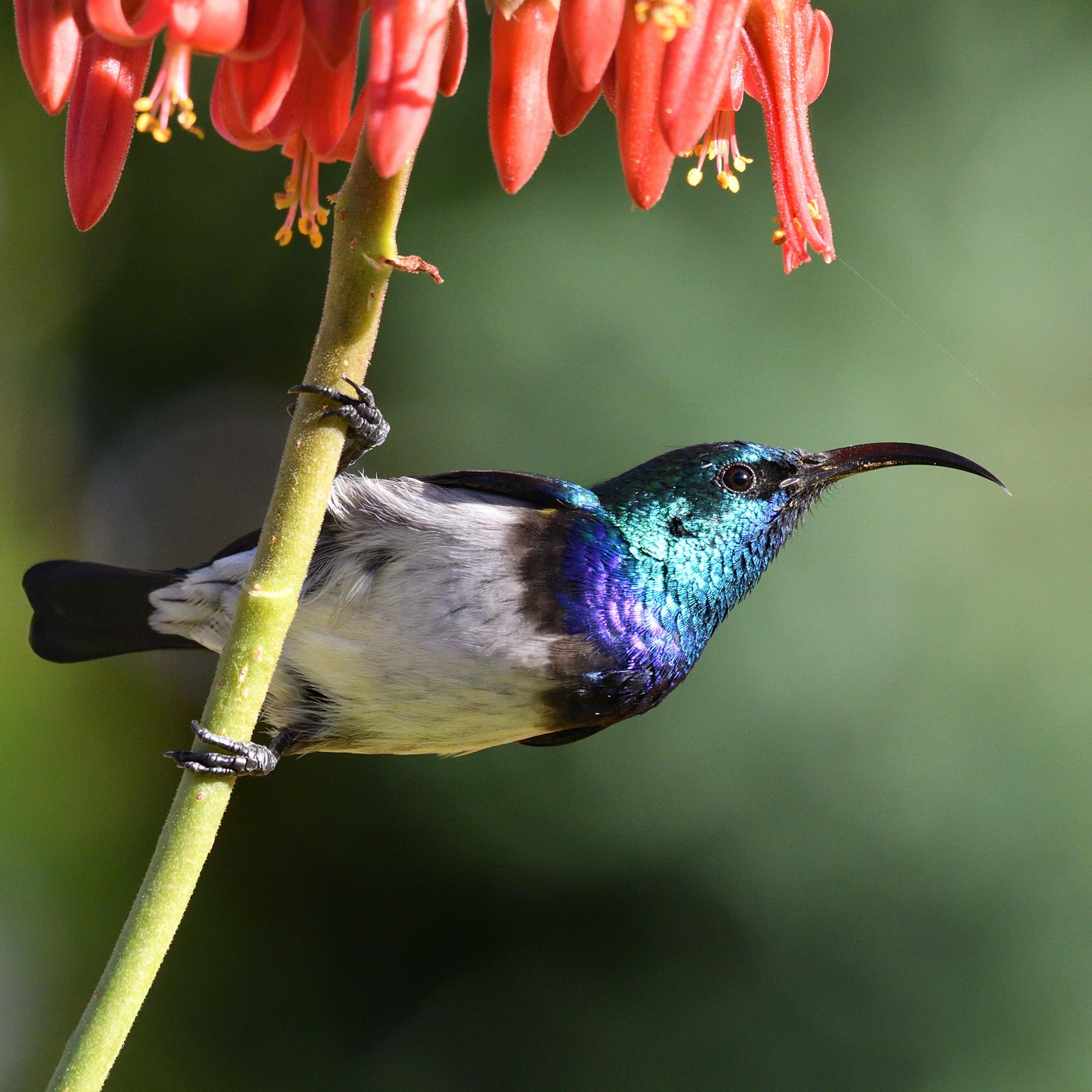 Male White Breasted Sunbird
