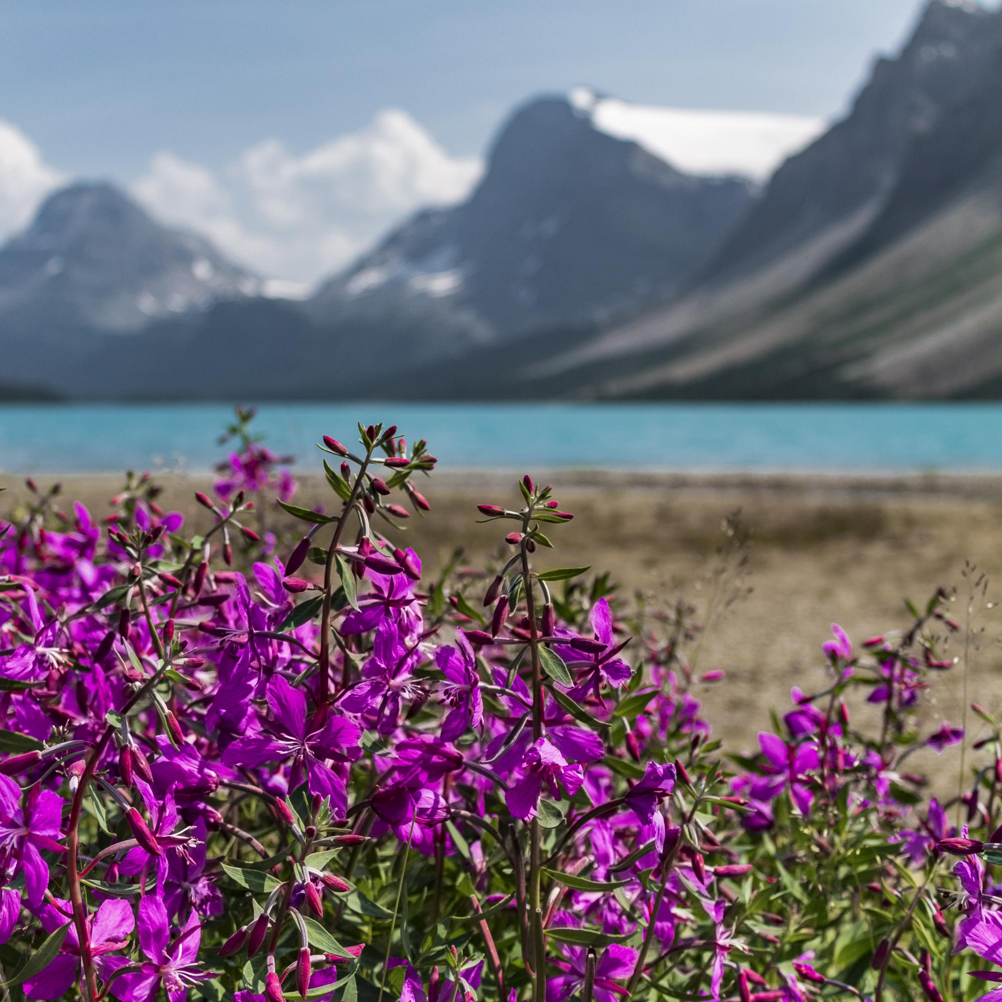 Flowers at Bow Lake