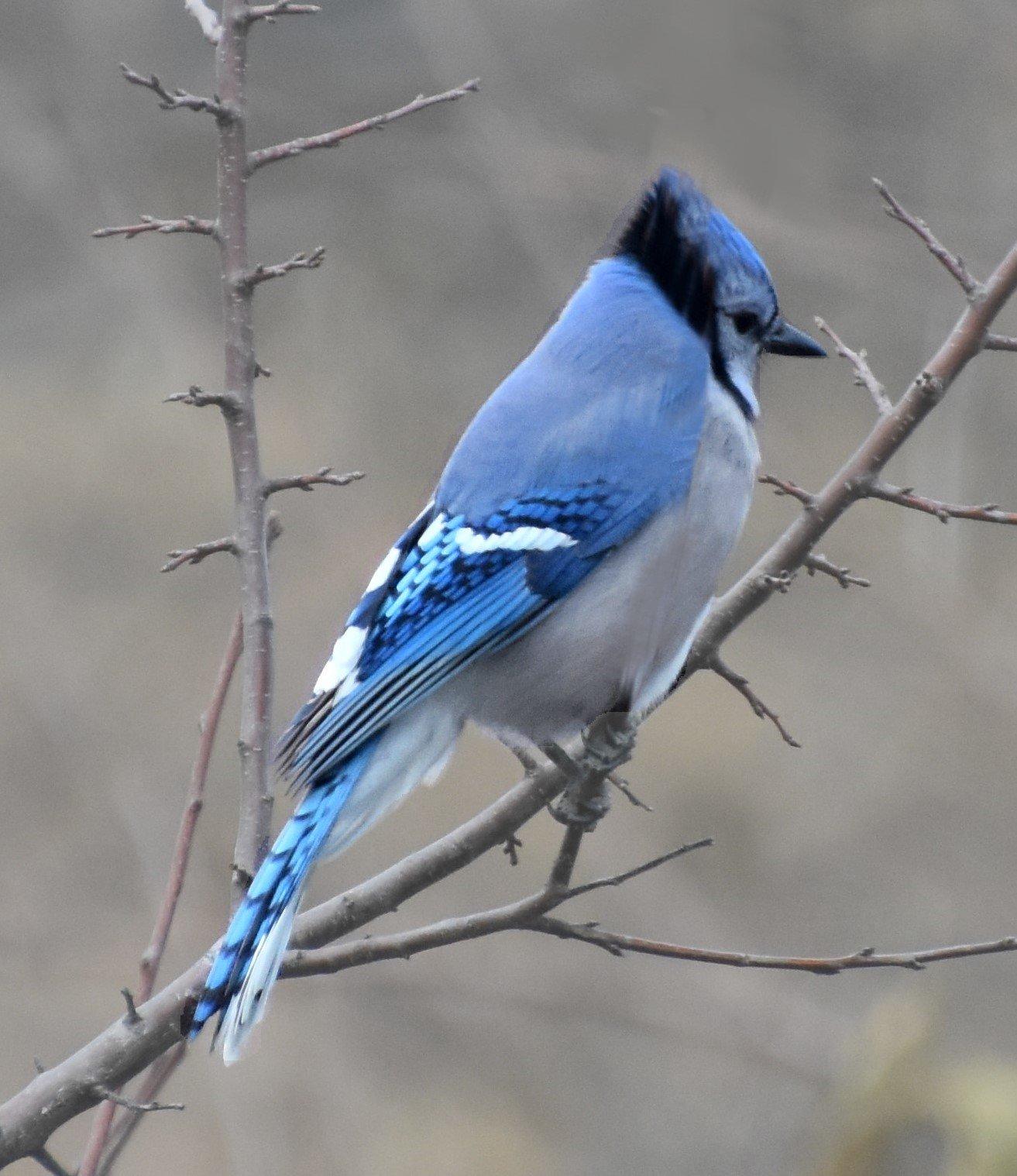 BlueJay (4)