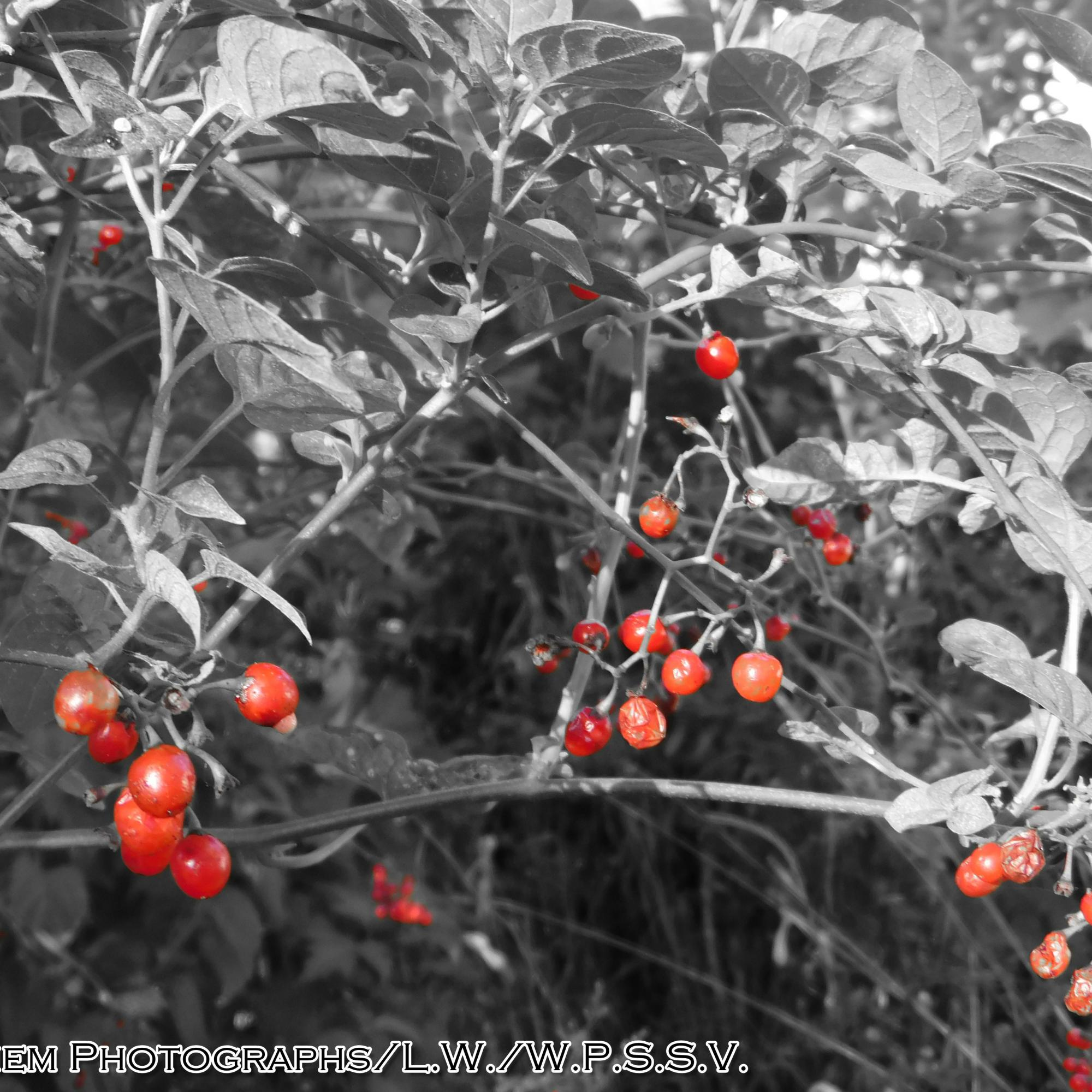 Nature's Red Dots (2)