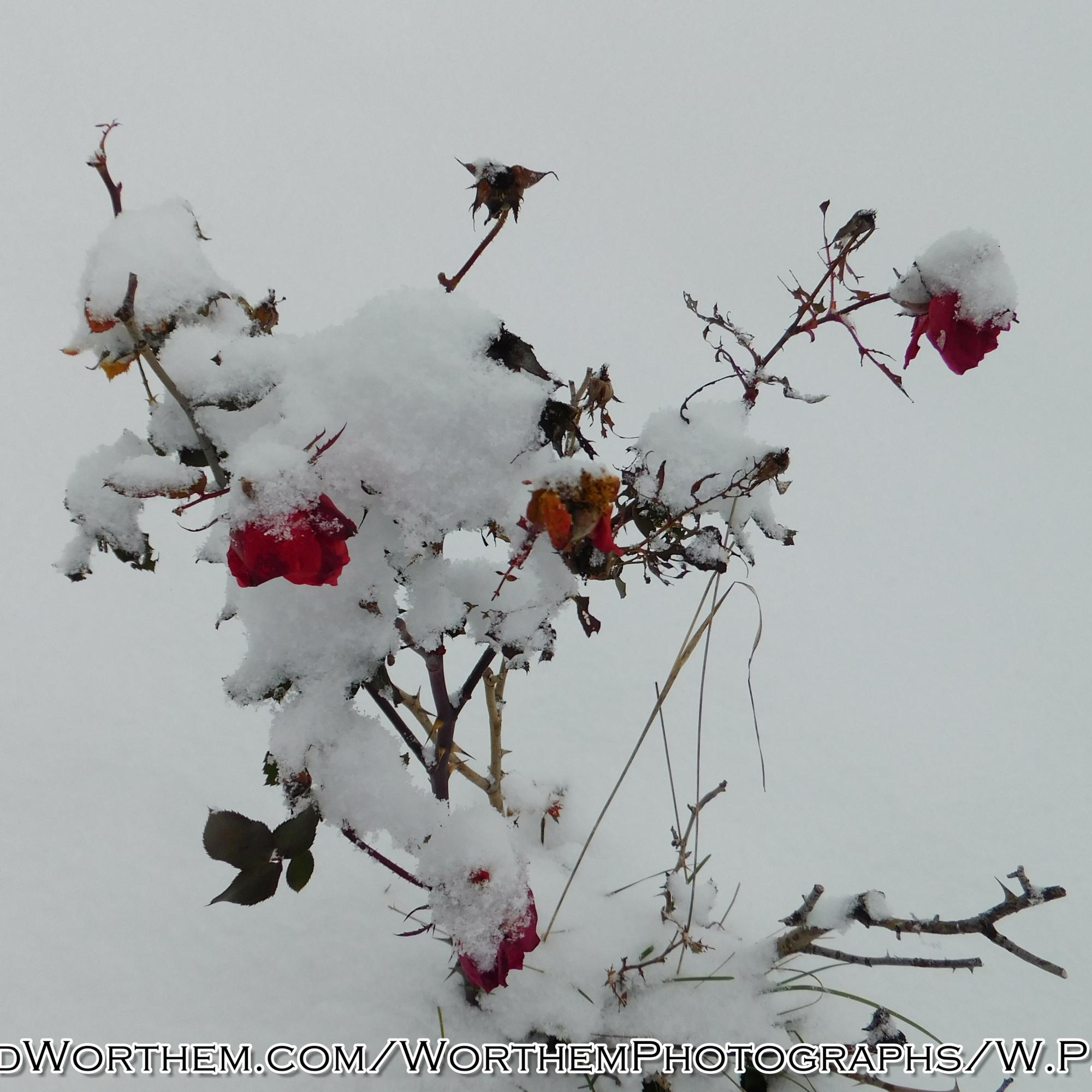 Snow Covered Roses
