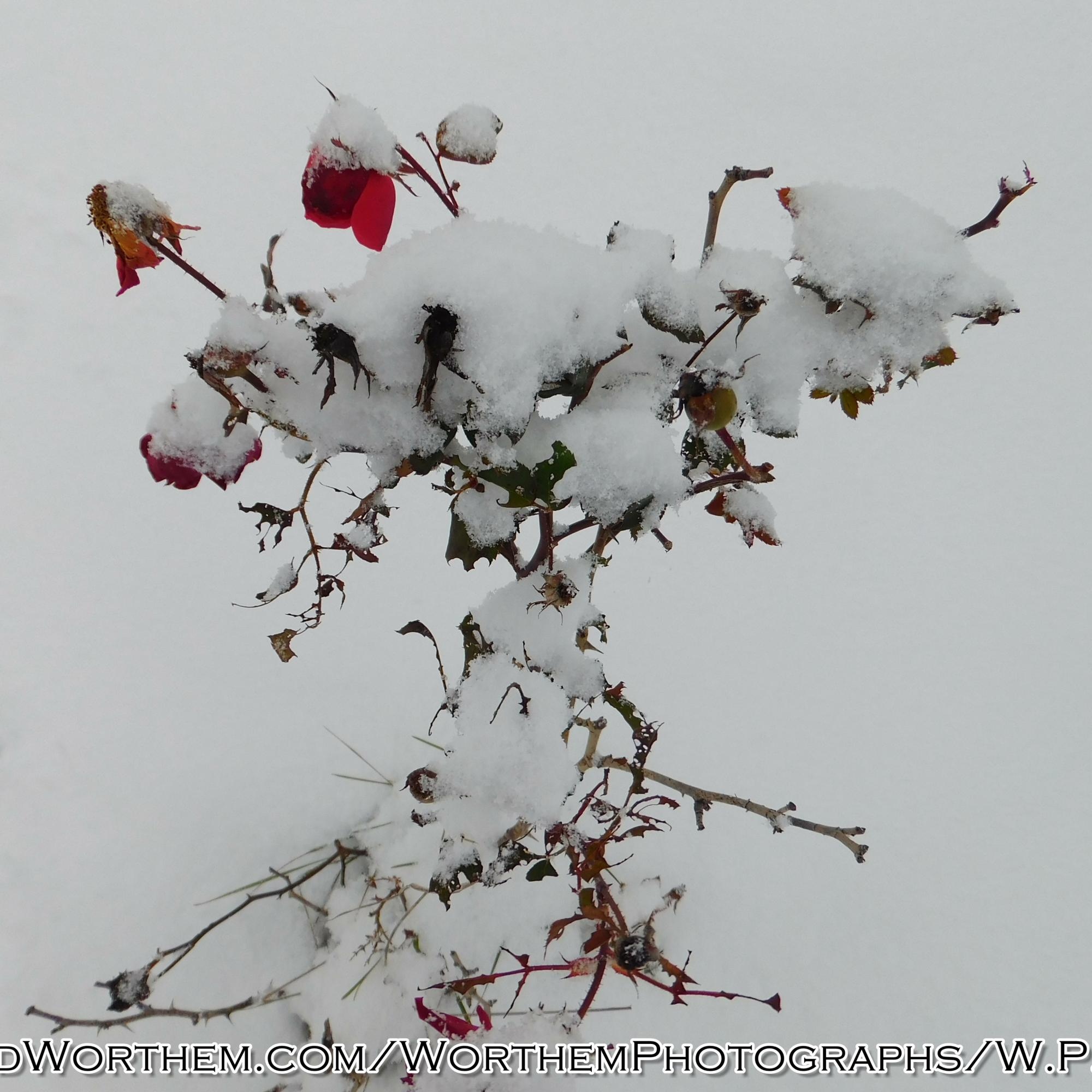 Snow Covered Roses (2)