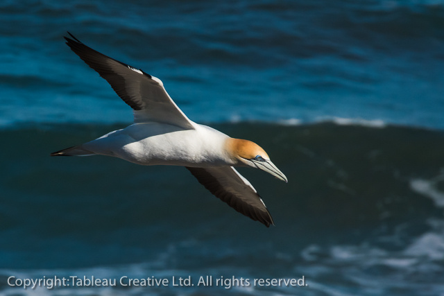 At the Gannet Sanctuary, Muriwai, Auckland, NZ.