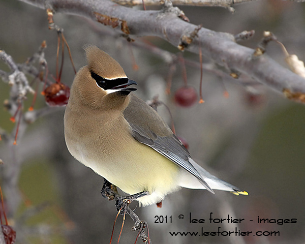 Cedar Waxwing - Don't see these very often. I'm happy they dropped by one Sunday afternoon.