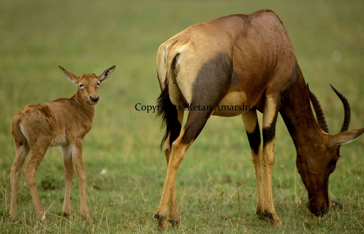 Antelope with her calf at serengeti National Park