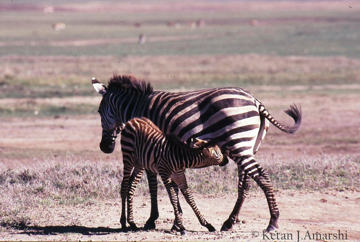Mother  Zebra with Foal at Ngorongoro Crater National Park
