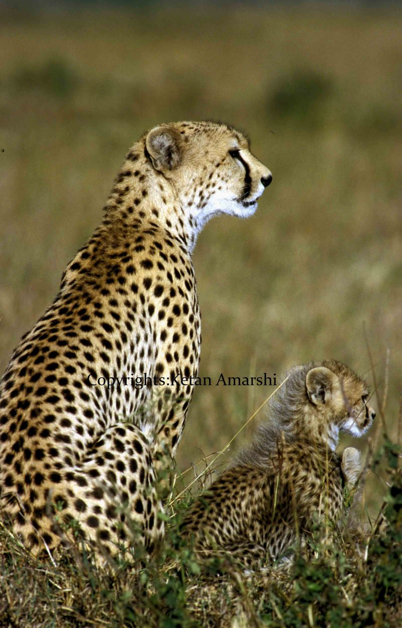 Duma with her cub at Serengeti National Park