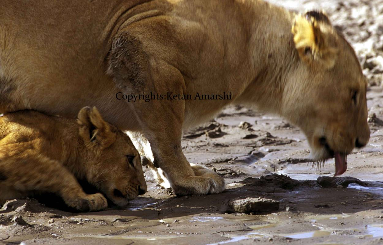 Liones with her Cub driking Water at Ngorongoro Crater National Park