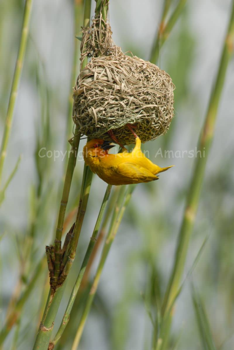 Golden Weaver (Ploceus subaures)