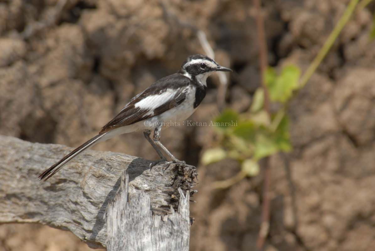 African Pied Wagtail (Motalla aguimp)