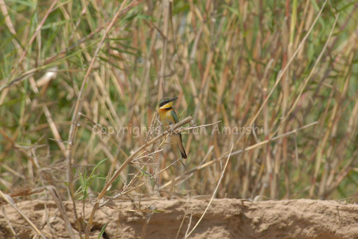 Little Bee-Eater (Merops pussilus)
