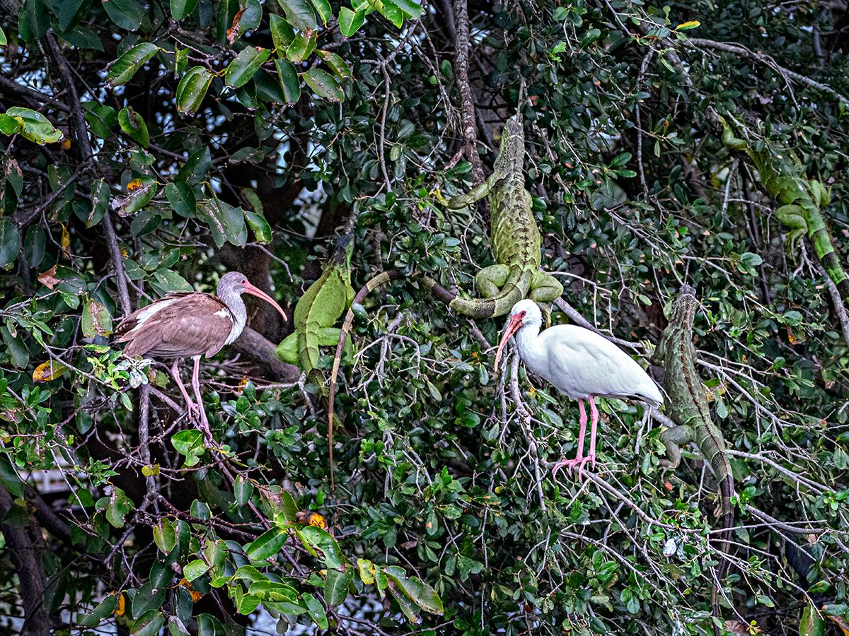 2 birds 4 iguana