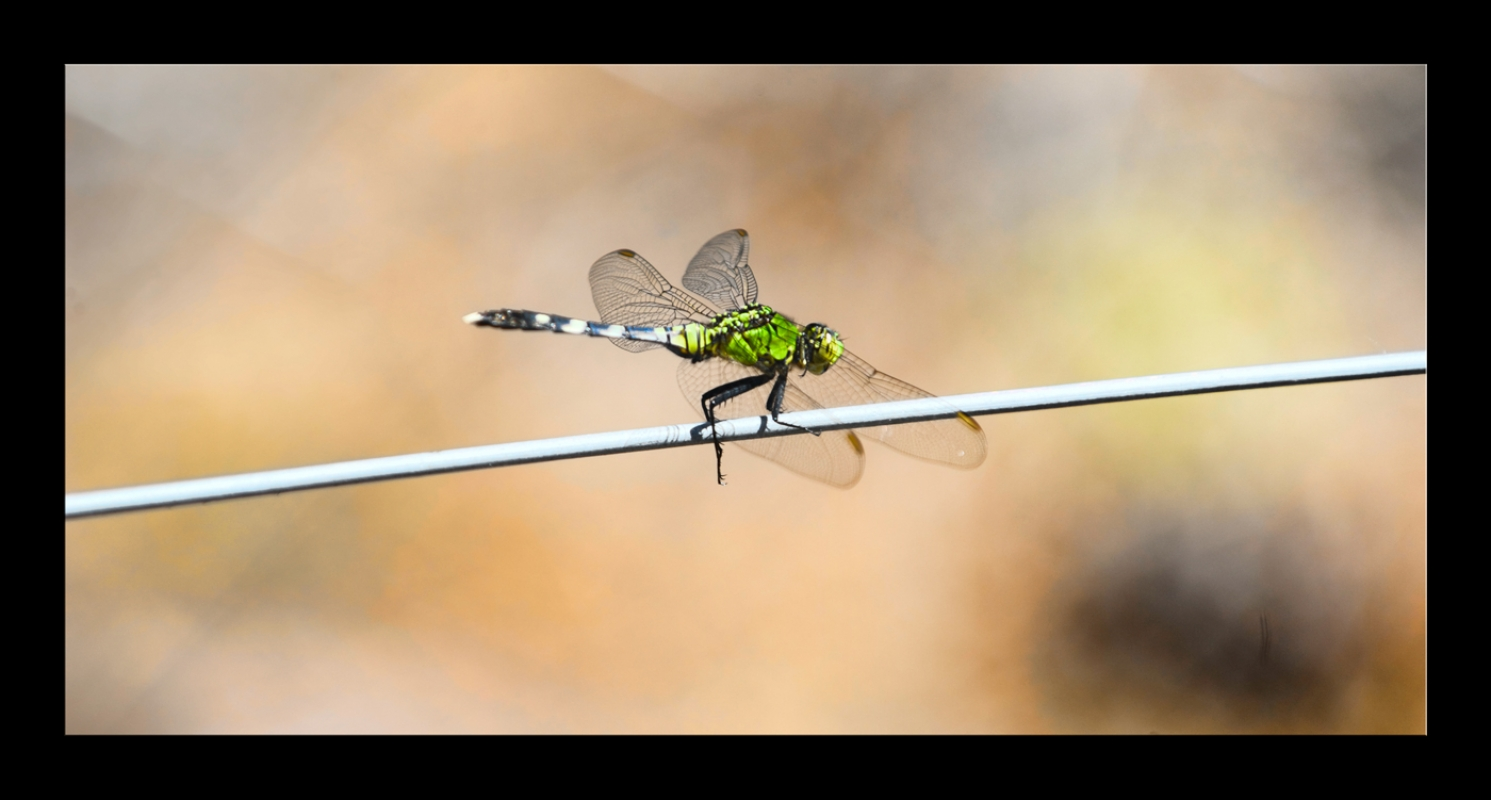 Dragonfly-on-electric-fence