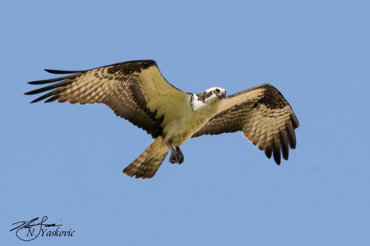 Male Osprey