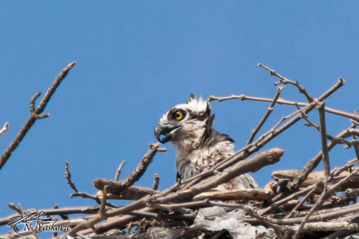 Female Osprey in nest